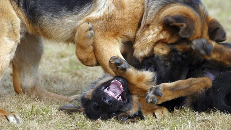 Aggression-Towards-Other-Dogs
