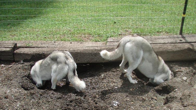 Digging Under The Fence Barking Royalty