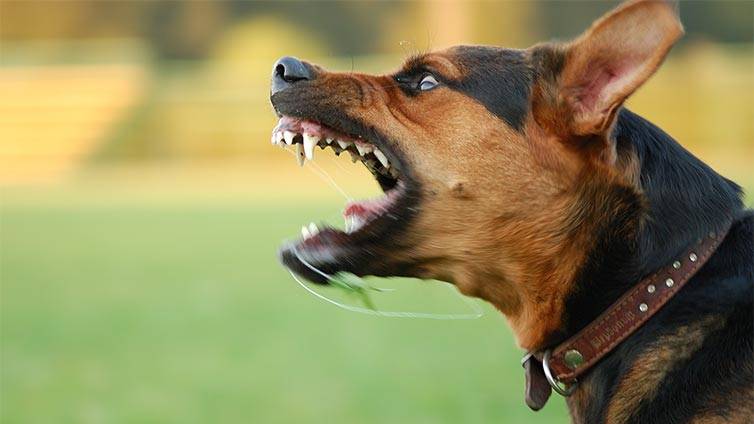 Dog Aggression Is One Of The Most Complex Behavi Issues Considering That Its Sources Triggeranifestations May Vary