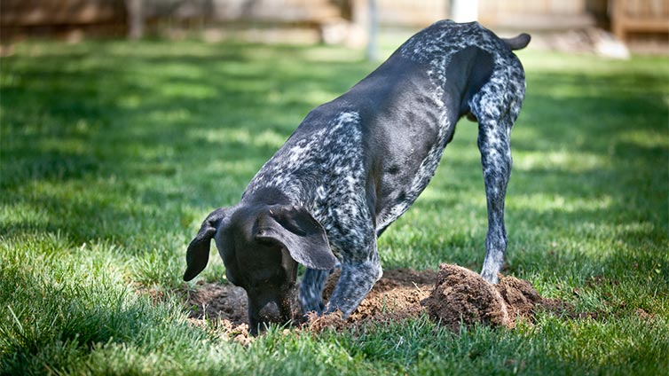 how to stop your dog from digging holes
