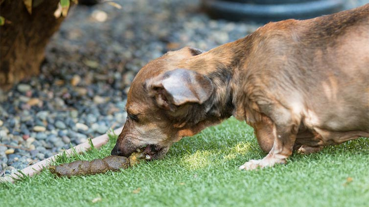 Why Dogs Eat Other Animals Poop