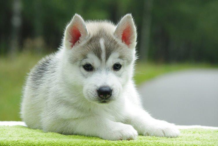 Alaskan-Malamute-puppy