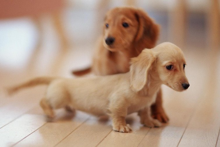 Fantastic Fluffy Brown Adorable Dog - Dachshund-puppy  Pictures_3197  .jpg?x30644