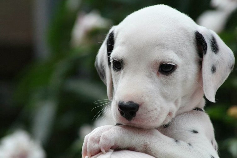 Dalmatians-puppy