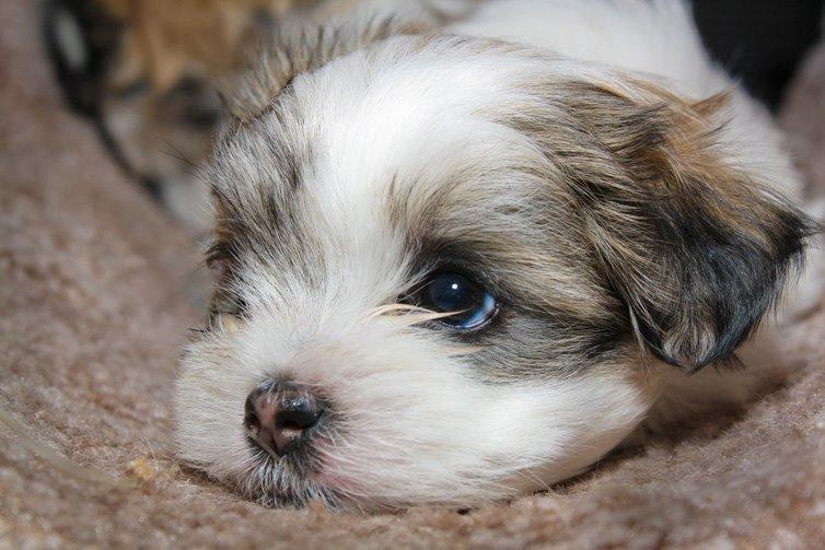 Maltese-Shih-Tzu-puppy