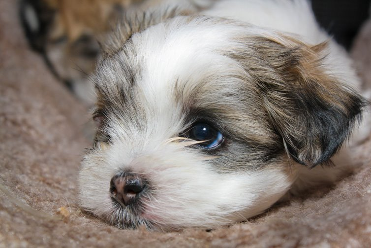 maltese shih tzu puppy 15 cutest puppies that will melt your heart barking royalty 1261