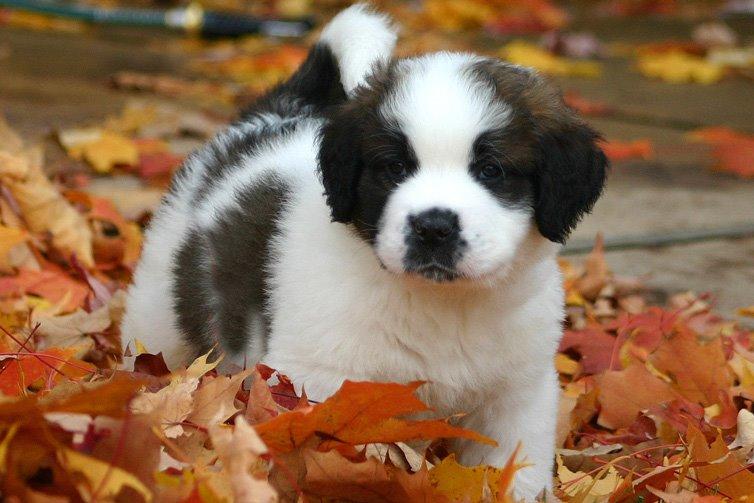 St-bernard-puppy