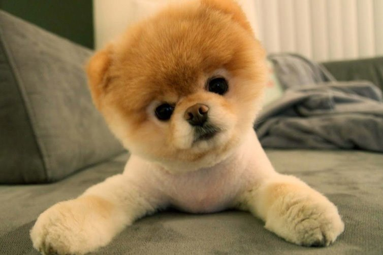 15 cutest puppies that will melt your heart barking royalty pomeraninan puppy voltagebd Image collections