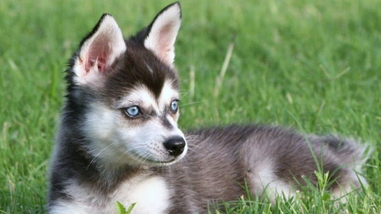 Alaskan Klee Kai Also Called Small Husky Breed