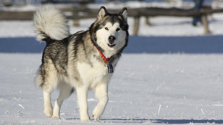 Alaskan-Malamutes