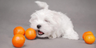 Can Dogs Eat Oranges, Grapefruit and Lemons?