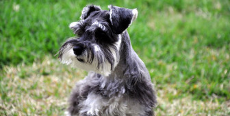 Do Schnauzers Shed?