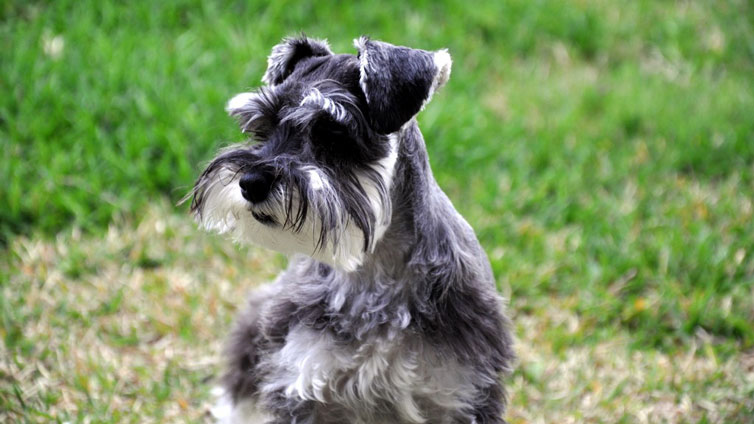 Do Schnauzers Shed