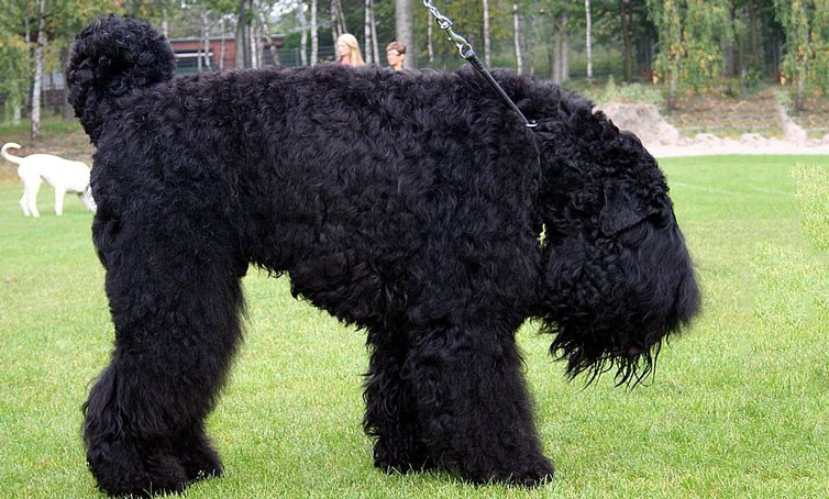 black-russian-terrier