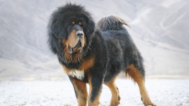 10 Dogs That Look Like Lions