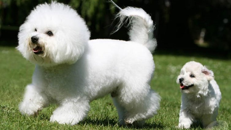 15 Dog Breeds That Don T Smell