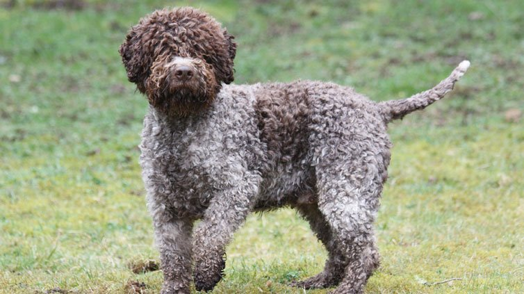 15 Dog Breeds That Don T Shed Much Barking Royalty