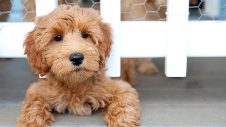 15 Dog Breeds That Don T Shed Much And Are Hypoallergenic