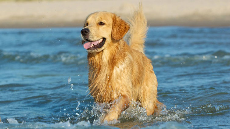 what-breeds-are-good-swimmers