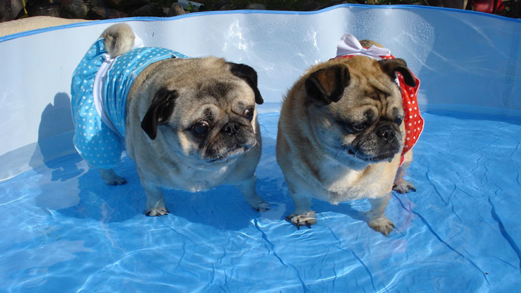 what-dogs-are-bad-swimmers