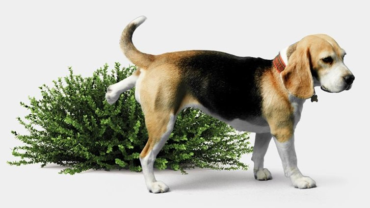 frequent urination in dogs