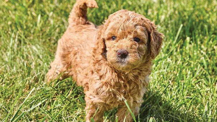 golden doodle pup