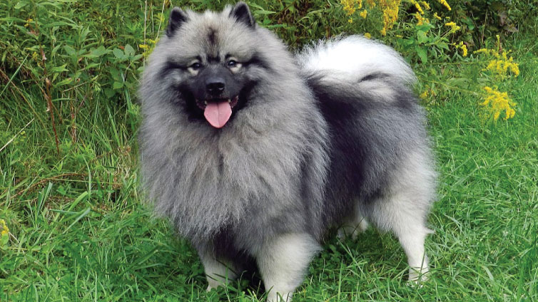 keeshond and american eskimo spitz mix