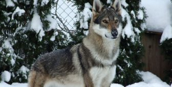 Kugsha – The Ultimate Guide To The Amerindian Malamute