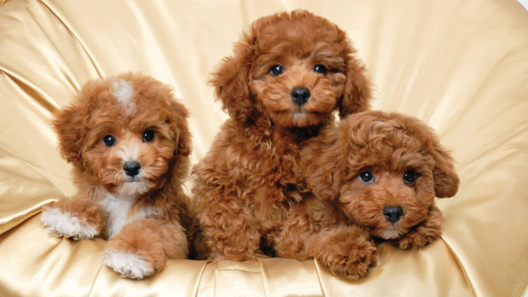 Look Like Bears Aka Teddy Bear Dogs