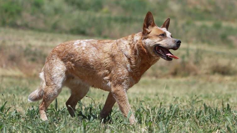 Red Heeler Dog Breed Information Temperament And Health