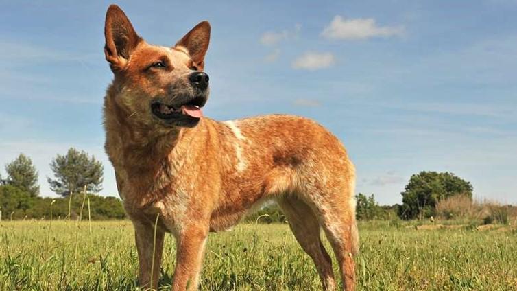 Dog Breed Red Heeler