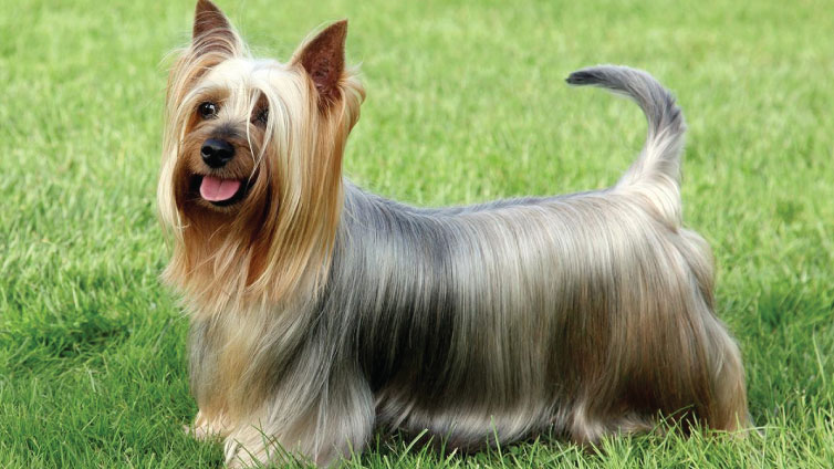 silky terrier hypoallergenic 30 small hypoallergenic dogs that don t shed 149