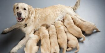 How Many Times Can You Breed A Dog