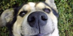 dog nose hot dry