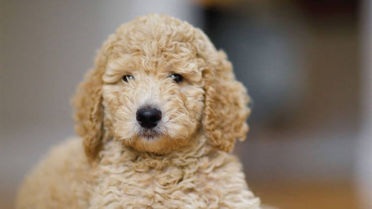 Poodles In General But Especially Toy Are Among The Most Suitable Dogs For Apartments Poodle Is Just Like A Regular Only