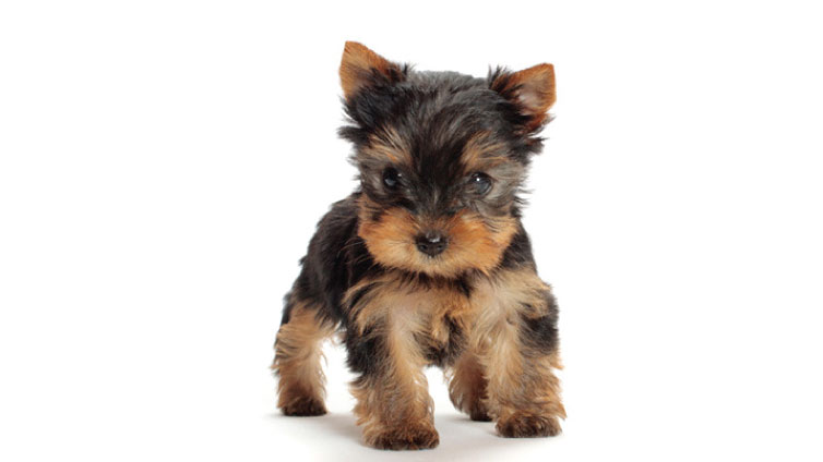 Yorkies Are Among The Most Por Toy Dog Breeds In U S They Known For Their Devotion To Owners And Great Suitability Apartment