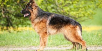 German Shepherd Shedding – How Much Do German Shepherds Shed?