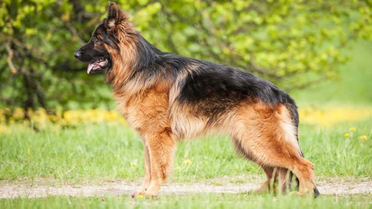 german shepherd shedding