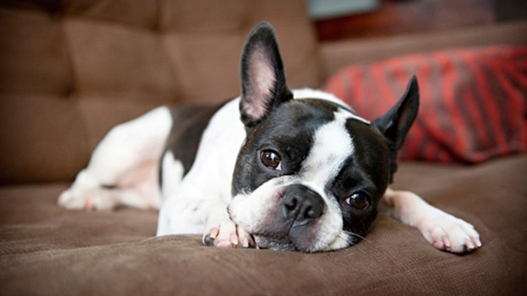 boston terrier and french bulldog pug vs french bulldog vs boston terrier barking royalty 3925