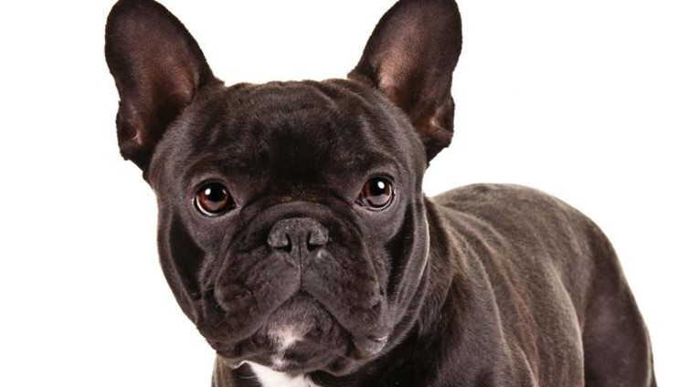 pug french bulldog boston terrier