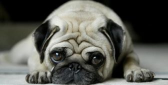 Pug Eye Problems: Common Issues And Treatments