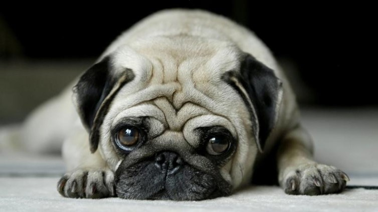 Pug Eye Problems Common Issues And Treatments