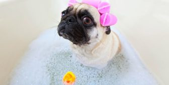 Do Pugs Smell? How To Make Your Pug Smell Better