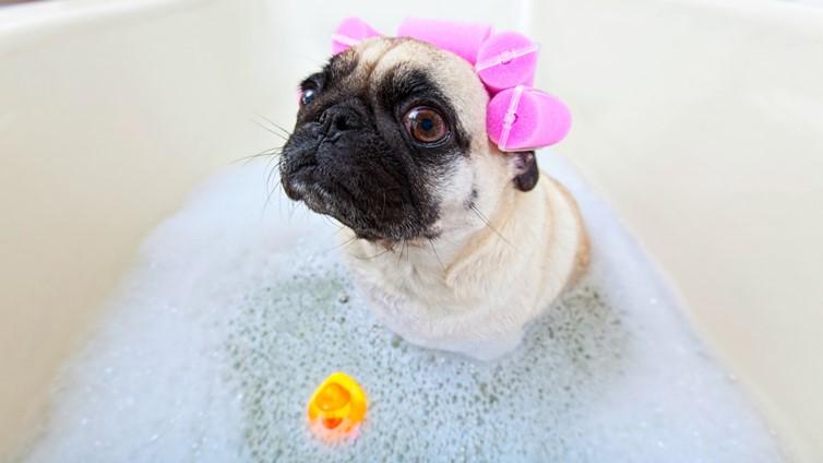 pug smell better