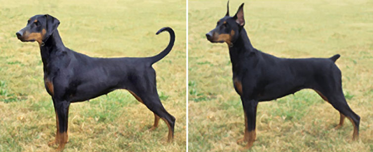 doberman before and after tail docking and ear cropping