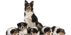 breeding a dog