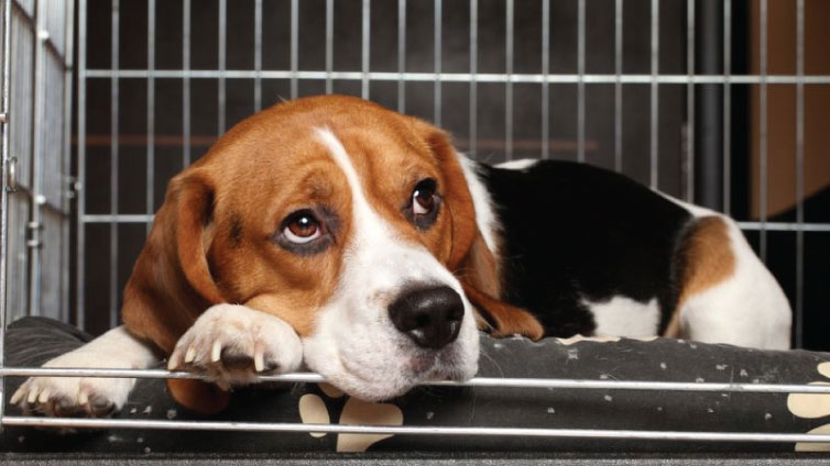 Beagle dog in crate