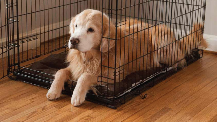 Golden retriever in crate