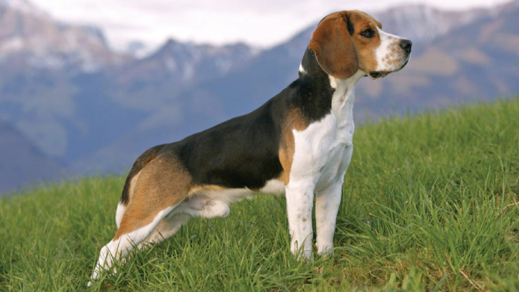 male dog beagle