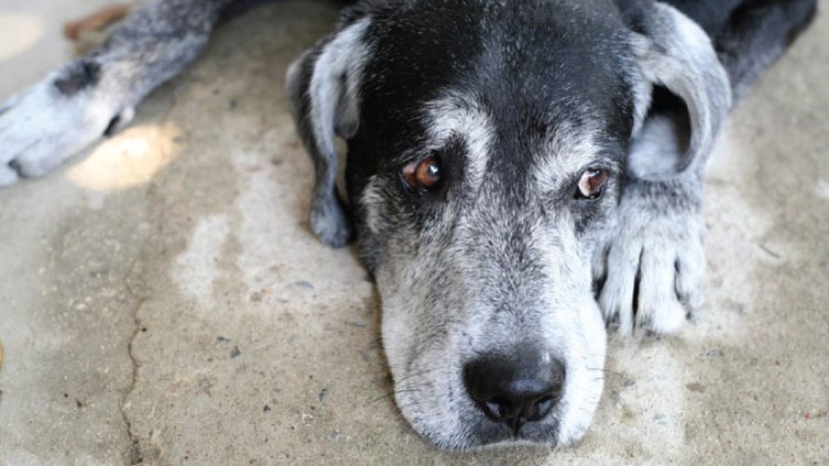 sad old dog